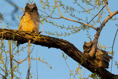 Stora Horned uggleungar i ett träd Royaltyfri Foto