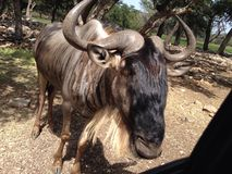 stora horns Arkivfoto
