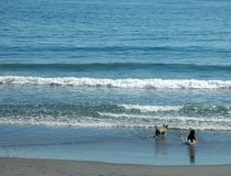 stora hundar little hav fotografering för bildbyråer