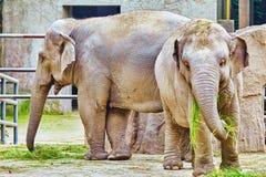 Stora indiska elefanter Arkivfoto