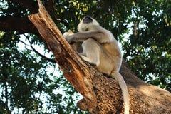 Stora indiska gulliga grå färger härmar med sammanträde för lång svans på träd och att äta som löst asiatiskt djungellivbegrepp Royaltyfri Fotografi