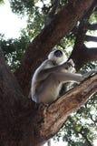 Stora indiska gulliga grå färger härmar med sammanträde för lång svans på träd och att äta som löst asiatiskt djungellivbegrepp Arkivfoto