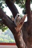 Stora indiska gulliga grå färger härmar med sammanträde för lång svans på träd och att äta som löst asiatiskt djungellivbegrepp Arkivfoton
