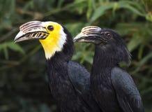 Stora indiska Hornbills på Tampa ` s Lowry parkerar zoo Royaltyfria Foton