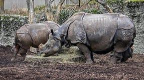stora indiska latinska name noshörningunicornis Arkivbilder