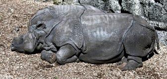 stora indiska latinska name noshörningunicornis Arkivbild