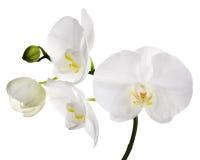Stora isolerade vita orkidéblommor Fotografering för Bildbyråer
