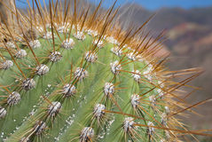 stora kaktusdetaljtaggar Fotografering för Bildbyråer