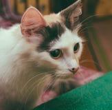 stora kattögon royaltyfri foto