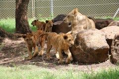 stora katter Royaltyfri Foto