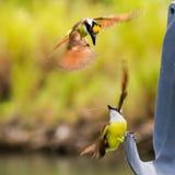 stora kiskadees för flyg Arkivbilder