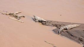 Stora krokodiler i Costa Rica Royaltyfri Fotografi