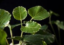 Stora leaves arkivbilder