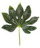 stora leaves för dekorativ blommagreen Royaltyfria Foton