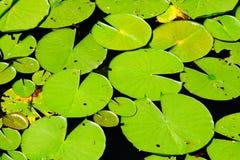 Stora lilly block på en sjö Arkivbilder