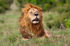Stora Lion Grimace i masaien Mara Royaltyfri Foto