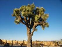 Stora ljusa Joshua Tree Arkivfoto