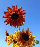 Stora ljusa orange och gula solrosor mot en ljus blå himmel Royaltyfri Foto