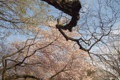 Stora majestätiska buding träd på en vårdag i parkerar royaltyfri foto