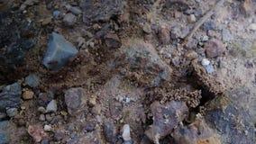 Stora myror arbetar, kryper tillbaka från ingången till myrstacken stock video