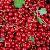 Stora nya bär för röd vinbär, som det finns sidor bland Arkivbilder