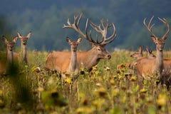 Stora och härliga röda hjortar under hjortbrunsten i Tjeckien Royaltyfri Bild