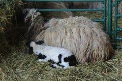 Stora och små får på hö royaltyfri bild