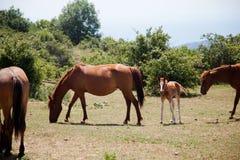 Stora och små hästar som betar i fält Royaltyfri Fotografi