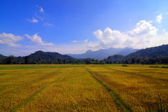 Stora orange risfältfält Royaltyfri Foto