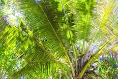 Stora palmblad på blå himmel för bakgrund Arkivfoton