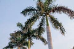 Stora palmträd med bakgrund för blå himmel Arkivfoton