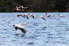 Stora pelikan och flamingo Royaltyfri Bild