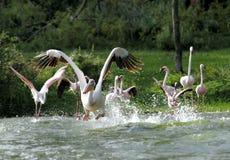 Stora pelikan som tar flyg med färgstänk av vatten Arkivbild