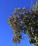 Stora problem för för valnötträd och powerlines fotografering för bildbyråer