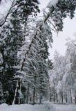 Stora prydliga träd som täckas med snö Arkivbilder