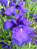 Stora purpurfärgade Iris Flower i Juni Arkivbilder