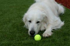 Stora Pyrenees hund med tennisbollen Royaltyfria Bilder