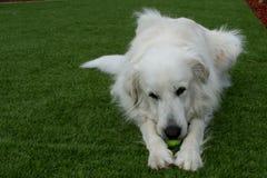 Stora Pyrenees hund som spelar med tennisbollen Royaltyfria Bilder