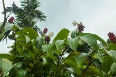 Stora röda blommor på buskarna i djungeln Royaltyfri Foto