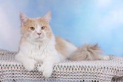 Stora röda och vita Maine Coon Cat som ligger på en filt Arkivbild