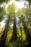 Stora redwoodträdträd Arkivbilder