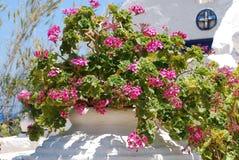 Stora rosa blommor med 5 sidor växer i en kruka i trädgården under den bränning solen och den blåa himlen royaltyfria bilder