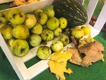 Stora runda saftiga mogna gröna äpplen i en träask spridd på golvet och de torra stupade gula stupade sidorna arkivfoto