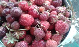 Stora saftiga jordgubbar royaltyfria bilder
