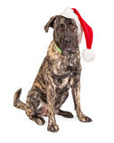 Stora Santa Claus Dog Royaltyfria Bilder