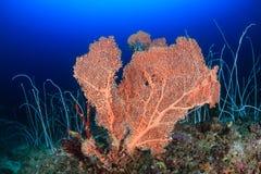 Stora seafan och piskar koraller Arkivbilder