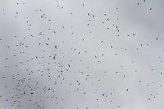 stora seagulls för flock Royaltyfri Foto