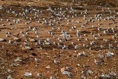 stora seagulls för flock Royaltyfri Bild