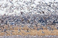 stora seagulls för flock Arkivbild