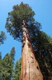 Stora sequoiaträdagains den blåa himlen Arkivbild